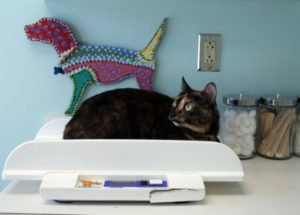 how to help.your cat lose weight in a week