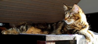 Choosing A Self-Cleaning Litter Box For Your Large Cat